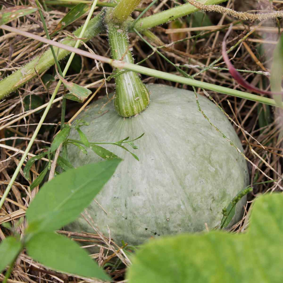 9月頃のかぼちゃの写真